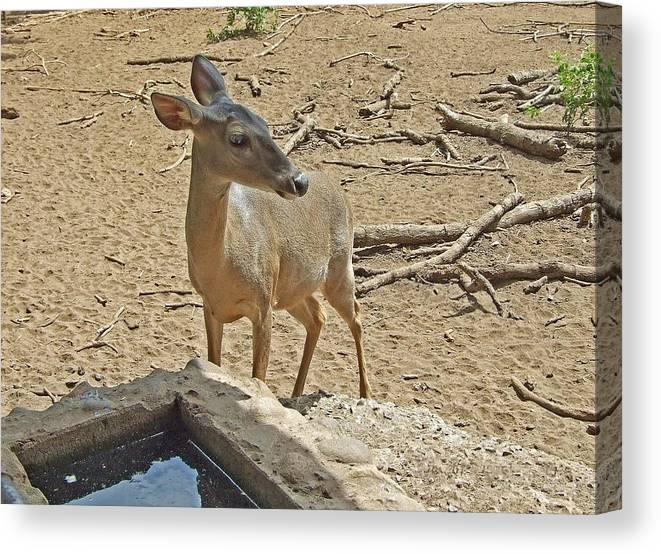 Animal Canvas Print featuring the photograph Deer At Waterhole by Judith Russell-Tooth