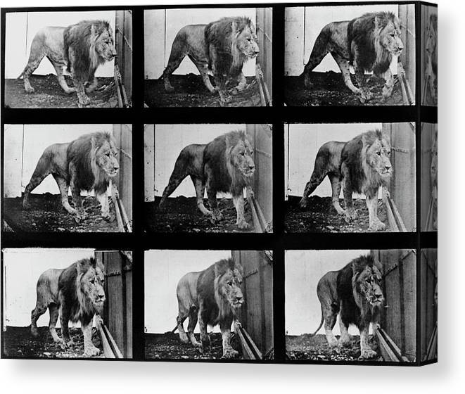 Lion Canvas Print featuring the photograph High-speed Sequence Of A Walking Lion By Muybridge by Eadweard Muybridge Collection/ Kingston Museum/science Photo Library