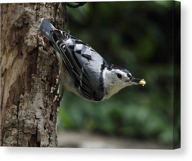 Nature Canvas Print featuring the photograph Hungry Nuthatch by David Rosenthal