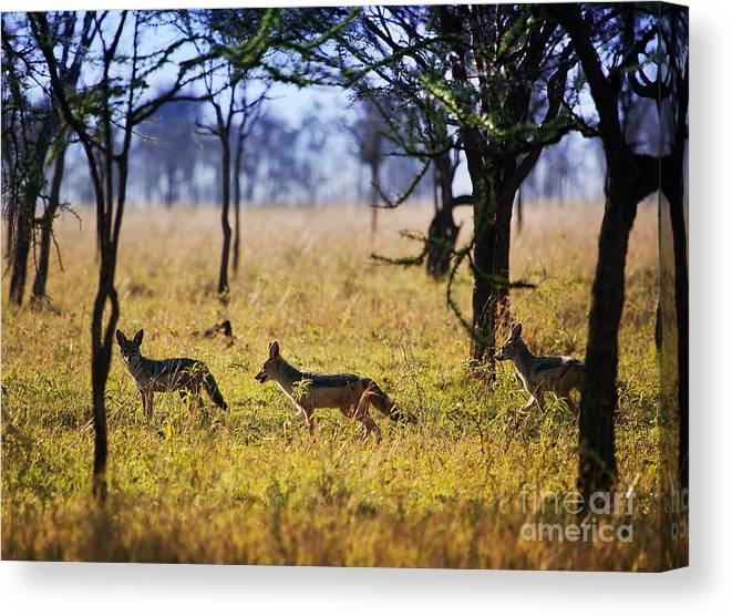 Serengeti Canvas Print featuring the photograph Jackals On Savanna. Safari In Serengeti. Tanzania. Africa by Michal Bednarek