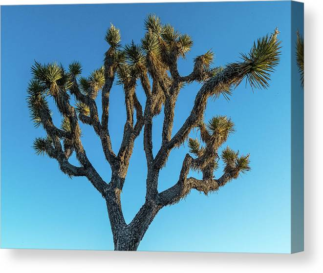 Photography Canvas Print featuring the photograph Low Angle View Of Joshua Tree, Joshua by Panoramic Images