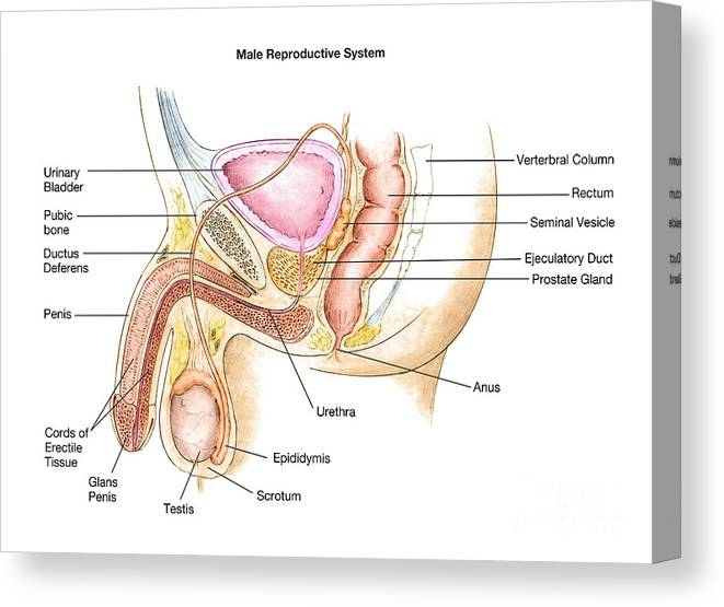 Male Reproductive System Canvas Print on musculoskeletal system diagram, digestive system diagram, respiratory system diagram, nervous system diagram, male digestive tract diagram, bull reproductive tract diagram, pituitary system diagram, heart diagram, skeletal system diagram, cardiovascular system diagram, circulatory system diagram, male skeletal system human skeleton, spermatogenesis diagram, the endocrine system diagram, male reproductive function, immune system diagram,