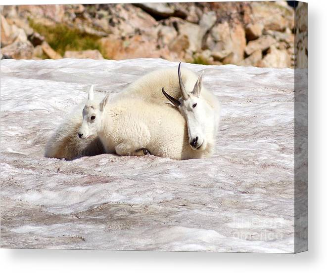 Nature Canvas Print featuring the photograph Mountain Goat Mother And Baby by Daniel Dodd