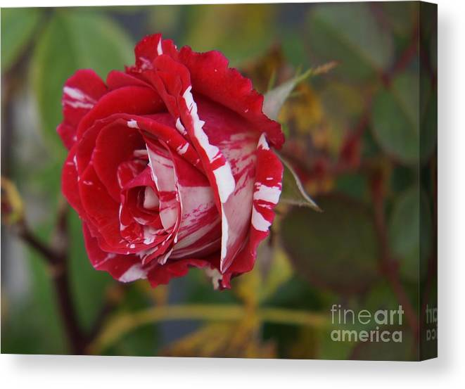 Rose Canvas Print featuring the photograph October Rose by Zori Minkova