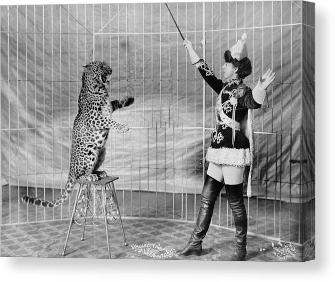 1900s Canvas Print featuring the photograph Vallecitas Leopards. Female Animal by Everett