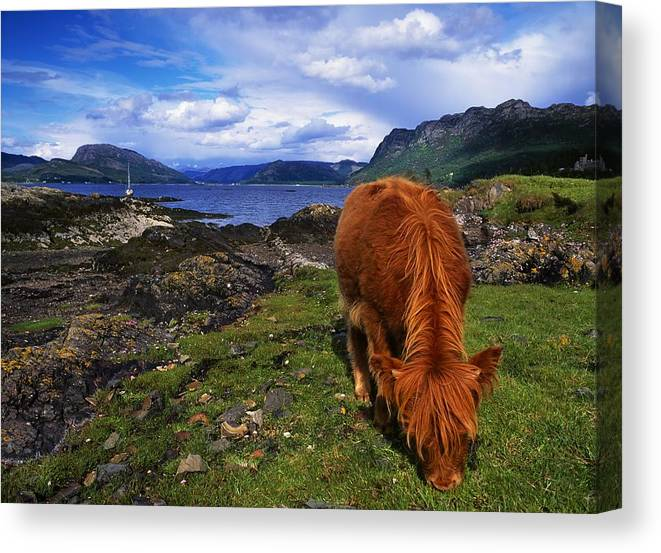 Cliff Canvas Print featuring the photograph Highland Cattle, Scotland by The Irish Image Collection