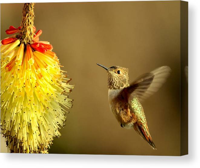 Hummingbird Canvas Print featuring the photograph Flight Of The Hummer by Mike Dawson