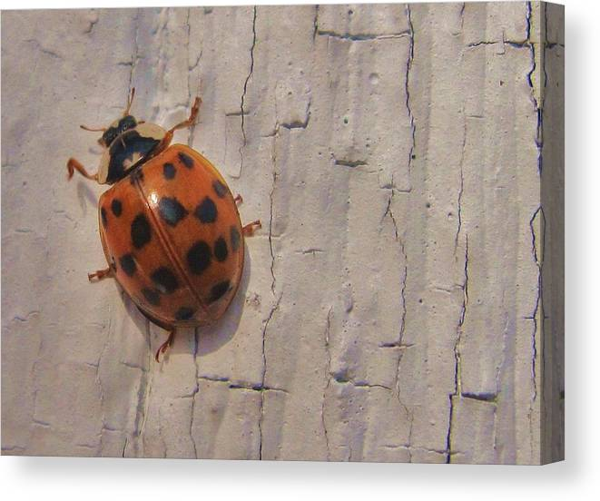 Lady Bug Canvas Print featuring the photograph Lady Bug by Joe Martin