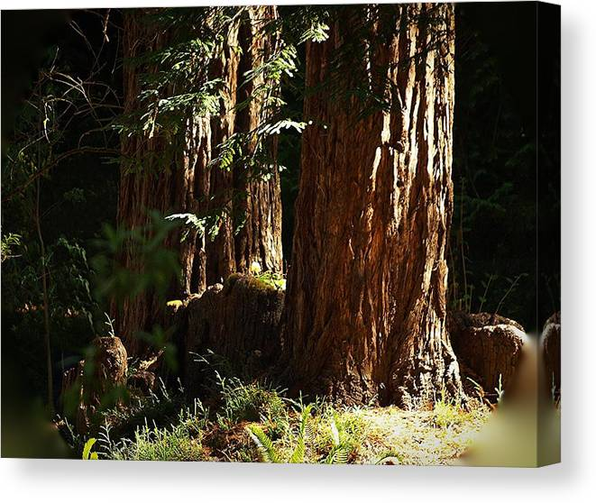 Botanical Canvas Print featuring the photograph New Growth Redwoods by Richard Thomas
