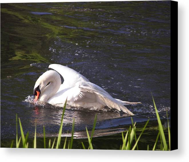 Wildlife/ Brighton The Swon Canvas Print featuring the photograph Wildlife by Jen Henderson