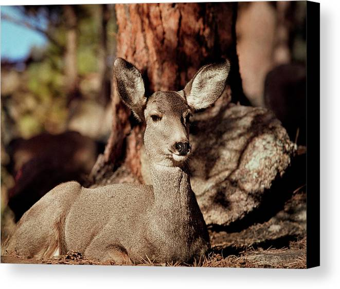 Colorado Canvas Print featuring the photograph Mule Deer Doe by Eric Glaser