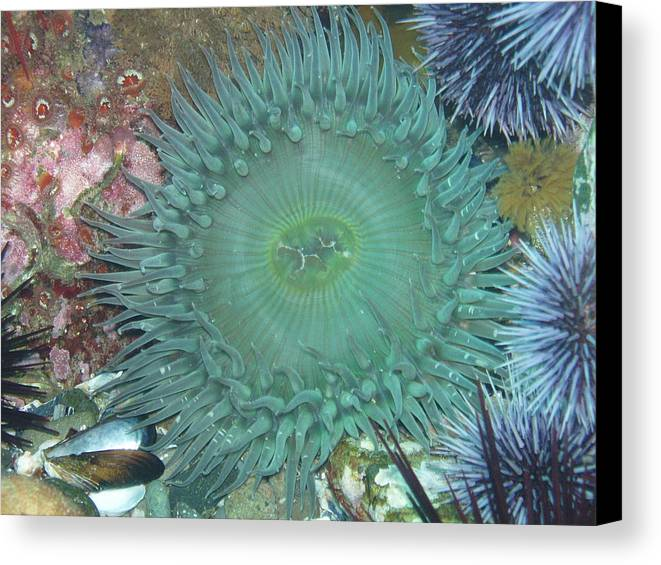 Sea Life Canvas Print featuring the photograph Anemone by Michael Shirey