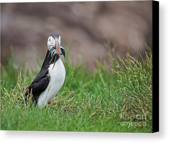 Atlantic Puffin Canvas Print featuring the photograph Atlantic Puffin With Sandeels by Liz Leyden