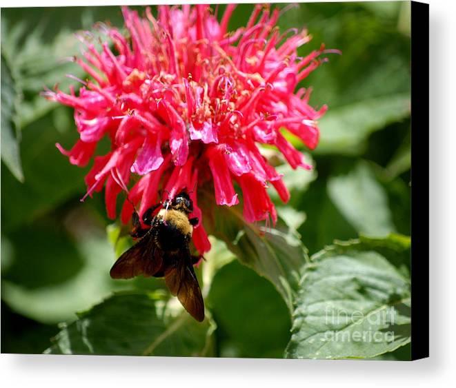 Bee Balm Canvas Print featuring the digital art Bee On Bee Balm Flower by Glenn Morimoto