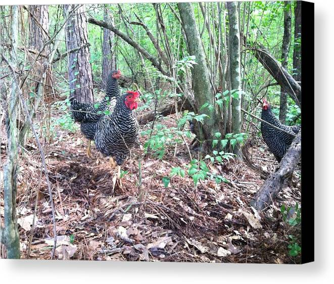 Barred Plymouth Rock Canvas Print featuring the photograph Farmyard Life With The Hens by Marcia B