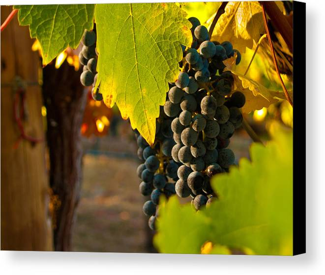 Grape Canvas Print featuring the photograph Fruit Of The Vine by Bill Gallagher