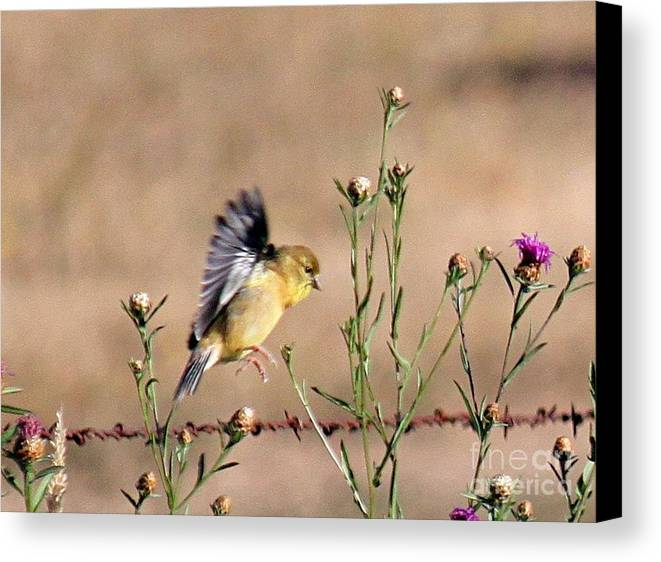 Gold Canvas Print featuring the photograph Goldfinch Quest 2 by Erica Hanel