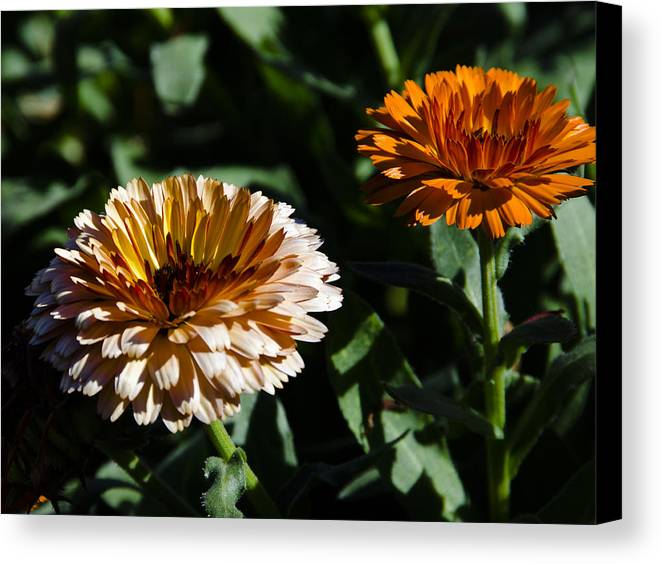Canvas Print featuring the photograph Marigold by Gerald Andersen