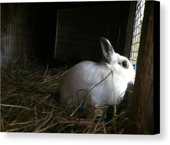 Snow White Canvas Print featuring the photograph Snow White Rabbit by Marcia B
