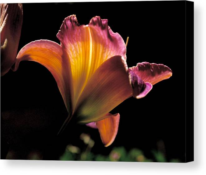 Lily Canvas Print featuring the photograph Sunlit Lily by Rona Black