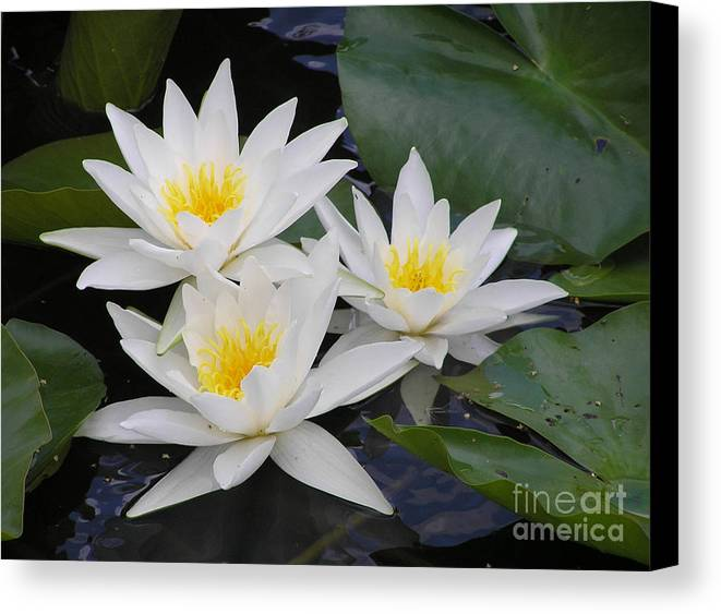 Waterlily Canvas Print featuring the photograph Three White Waterlilies by Kerstin Ivarsson