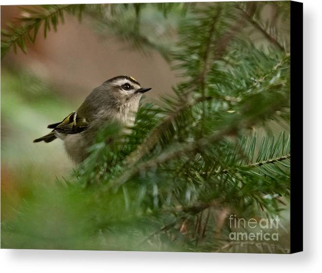 Canvas Print featuring the photograph Yellow-crowned Kinglet by Cheryl Baxter