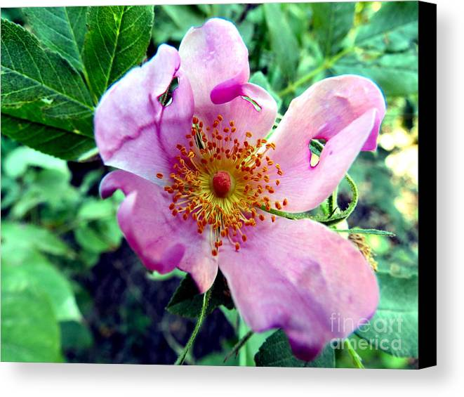 Flower Canvas Print featuring the photograph Pinklet by Art Dingo