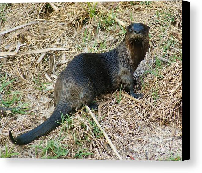 North American River Otter Canvas Print featuring the photograph Florida River Otter by Lynda Dawson-Youngclaus