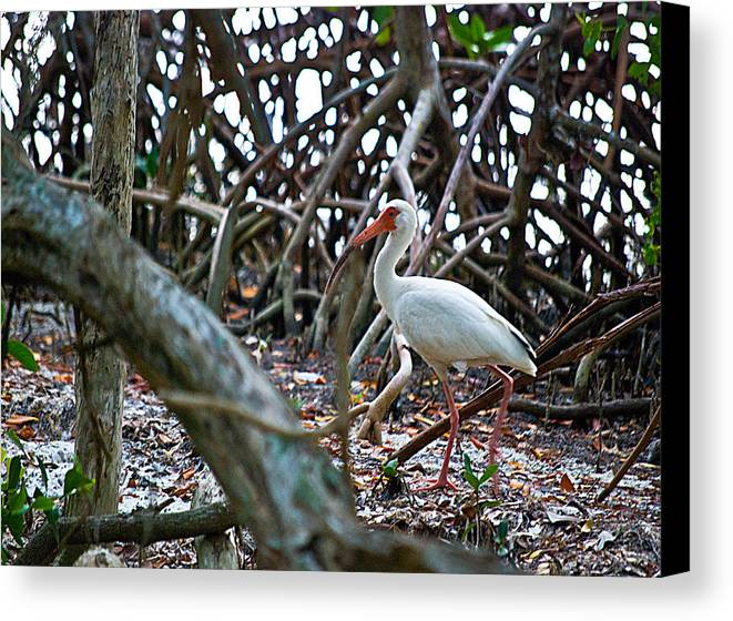Wildlife Canvas Print featuring the photograph Ibis Wil 335 by G L Sarti