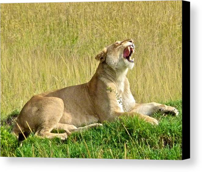 Lioness Canvas Print featuring the photograph Morning Yawn by Robert Joseph