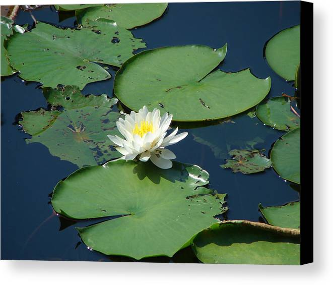 Water Lily Canvas Print featuring the photograph A Water Lily Bloom by Shiana Canatella