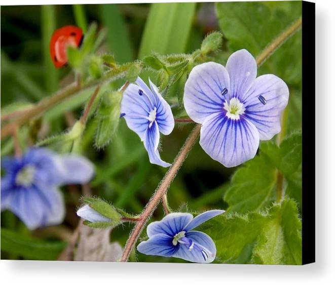 Flower Canvas Print featuring the photograph Blue Flower by Olja Simovic