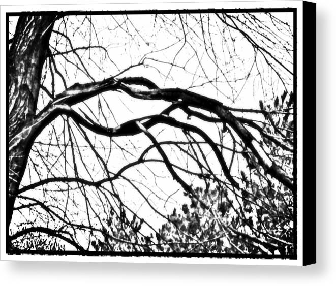 Maple Canvas Print featuring the photograph Bound Together In A Love Knot by Debra Lynch