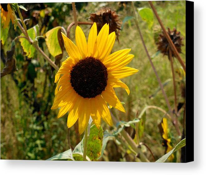 Flower Canvas Print featuring the painting Closeup Of Sunflower In Farm by Jeelan Clark