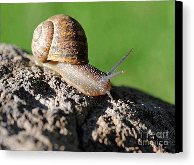 Snail Canvas Print featuring the photograph Garden Snail by Dennis Hammer