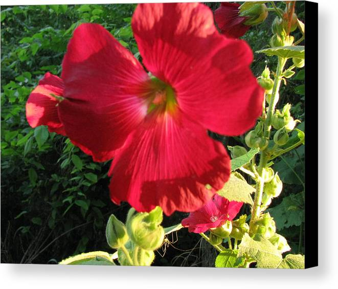 Flower Canvas Print featuring the photograph Hollyhock by Gloria Byler