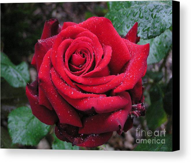 Rose Canvas Print featuring the photograph Icy Rose by Louise Magno