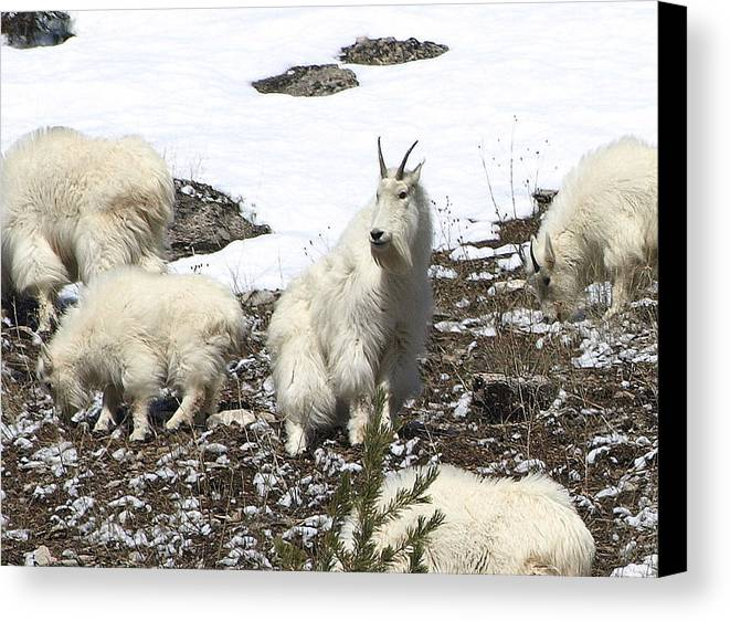 Mountain Goats Canvas Print featuring the photograph King Of The Hill by DeeLon Merritt
