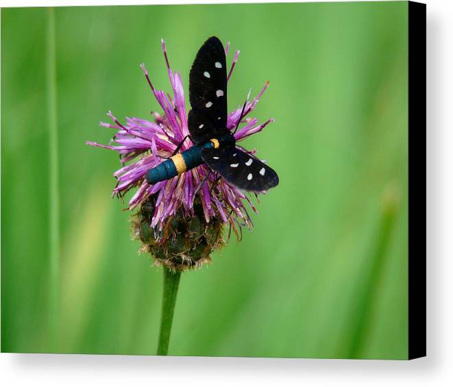 Insect Canvas Print featuring the photograph Nectar Time by Jane Selverstone