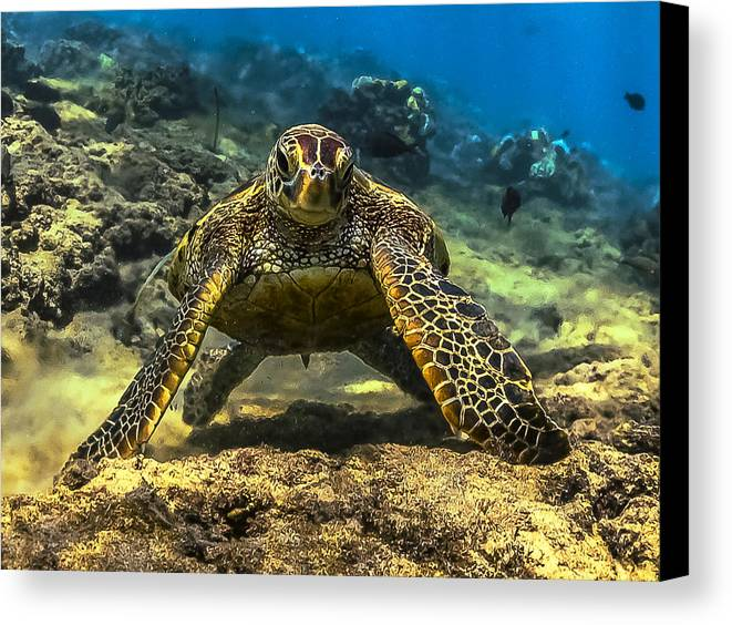 Honu Canvas Print featuring the photograph Resting Honu by Quintan White
