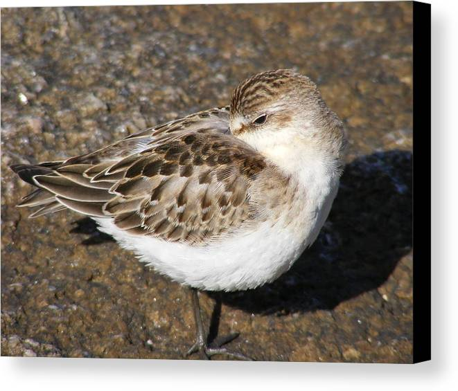 Sandpiper Canvas Print featuring the photograph Sandpiper by Doug Mills