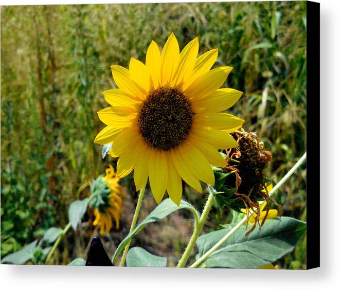 Agriculture Canvas Print featuring the painting Sunflower 12 by Jeelan Clark