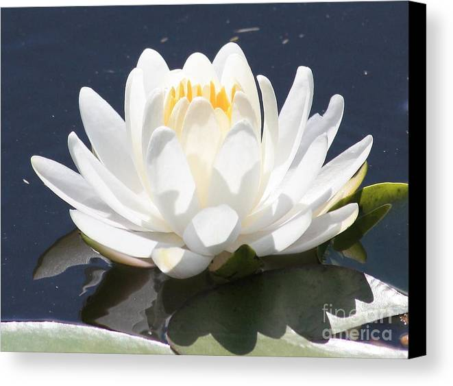 Flower Canvas Print featuring the photograph Sunlight On Water Lily by Carol Groenen