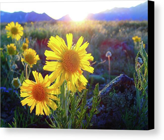 Buena Canvas Print featuring the photograph Sunsets And Sunflowers In Buena Vista by Lora Louise