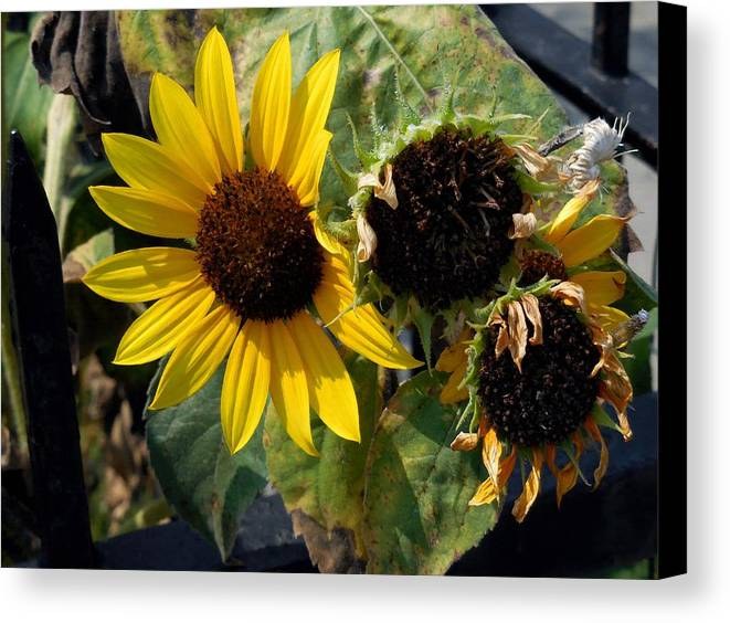 Field Canvas Print featuring the painting Three Beautiful Sunflower by Jeelan Clark