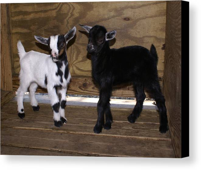 Baby Goat Twins Canvas Print featuring the photograph Twin Kids by Debbie May