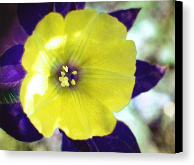Yellow Canvas Print featuring the photograph Yellow Star by Ramona Barnhill
