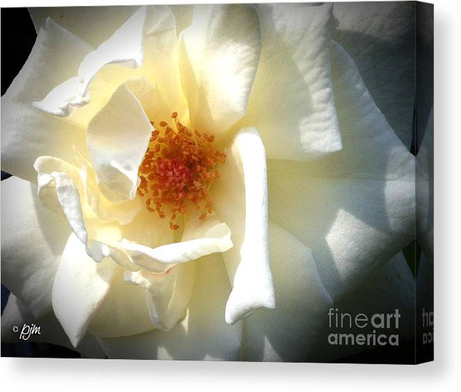 White Rose Canvas Print featuring the photograph White Rose by Phil Mancuso