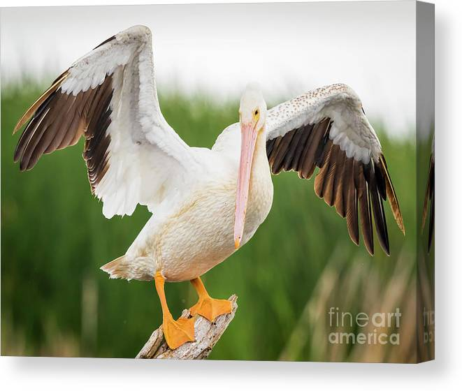 Canon Canvas Print featuring the photograph American White Pelican 1 by Ricky L Jones