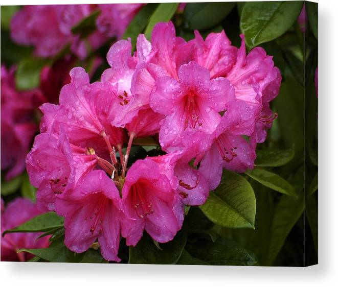 Rhody Canvas Print featuring the photograph After The Rain by Lori Seaman